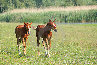 Two brown foals running