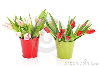 Two buckets with tulips