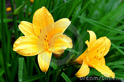 Two bud of lily