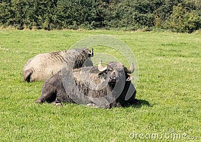 Two buffalo in english farm meadow