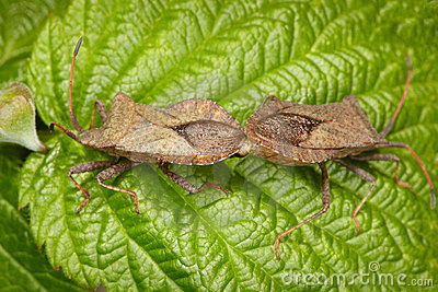 Two bugs copulating on leaf