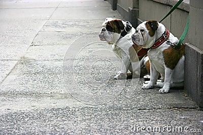 Two bulldogs