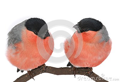 Two bullfinch