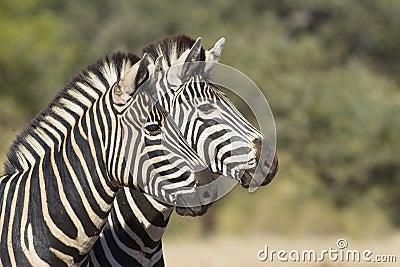 Two Burchells Zebra, South Africa