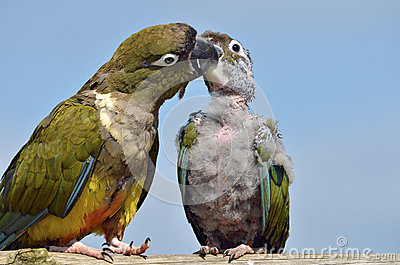 Two Burrowing Parrots