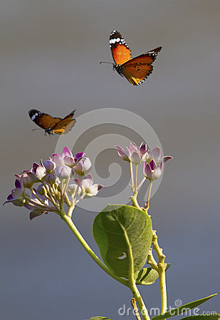Free Two Butterflies And Flowers Royalty Free Stock Photography - 40439187