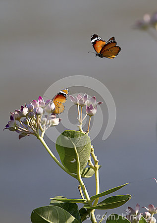 Free Two Butterflies And Flowers Stock Image - 40439291
