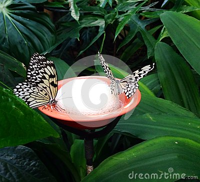 Free Two Butterflies Drinking Stock Photos - 47391393