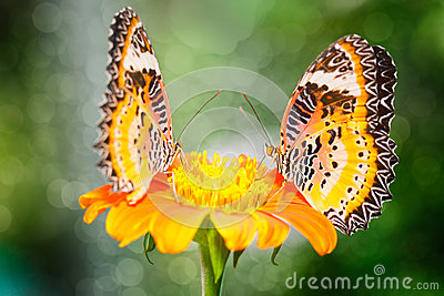 Two Butterfly on Flower (The Malay Lacewing)