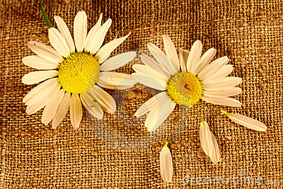 Two camomile flowers on the linen cloth