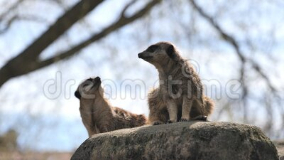 Two captive curious meerkats Suricata suricatta located in a zoo with a blurred tree in background. Two captive curious meerkats Suricata suricatta located in a stock video footage