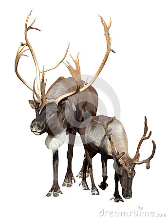 Free Two Caribou Stock Photography - 35912182
