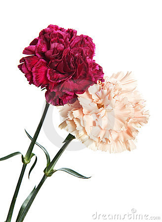 Two carnations