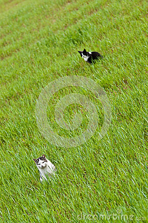 Two cats in green field