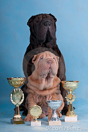 Two Champion Shar-pei