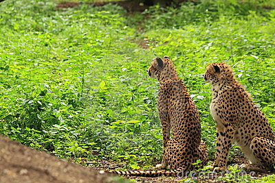 Two cheetah s in green vegetation