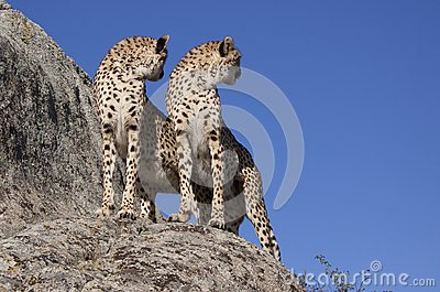 Two cheetahs on a rock