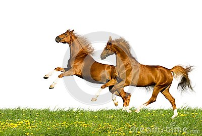 Two chestnut horses isolated
