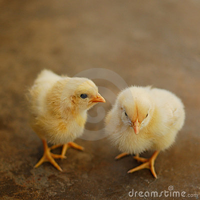 Free Two Chicks Royalty Free Stock Images - 16486629