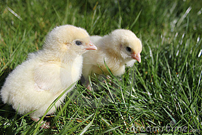 Two chicks close up landscape