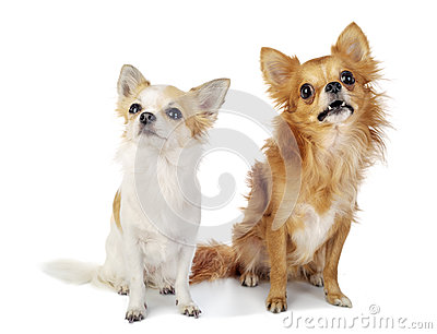 Two chihuahua dogs looking up with interest