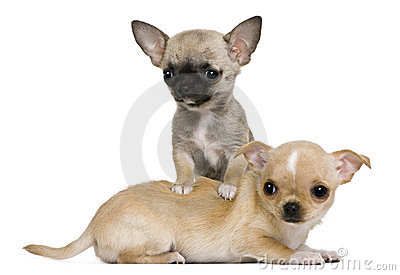 Two chihuahua puppies, 2 months and 3 months old