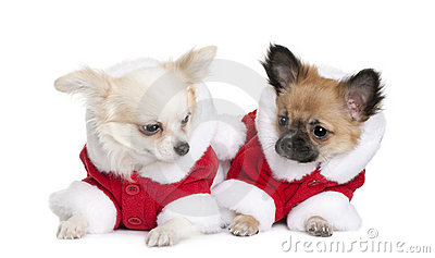Two Chihuahuas in Santa coats, 7 months old