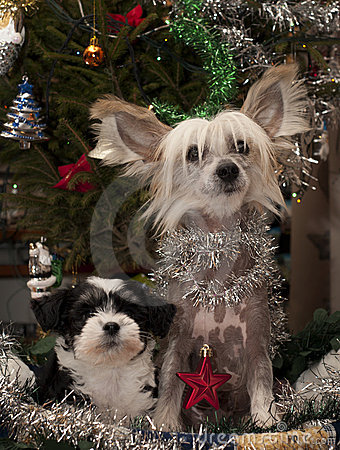 Free Two Chinese Crested,Powder-puff Puppies Stock Photos - 17483173