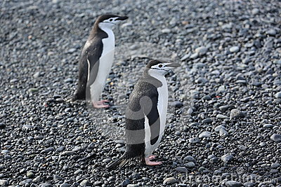 Two Chinstrap penguins in Antarctica