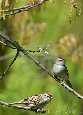 Two chipping sparrows