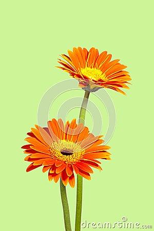 Two chrysanthemums