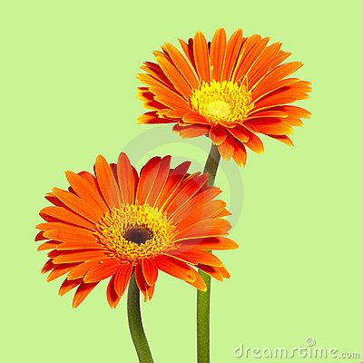 Free Two Chrysanthemums Royalty Free Stock Photo - 13208345