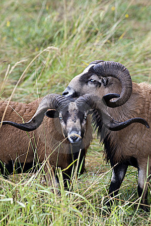 Two close Blackbellied sheep.