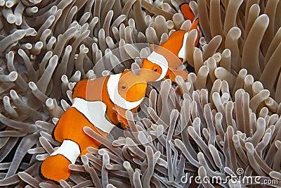 Two Clown Anemonefish