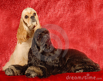 Two cocker spaniel dogs