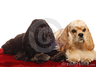 Two cocker spaniels
