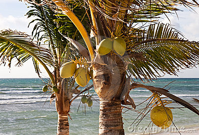 Two Coconut Palms on a Tropical Beach