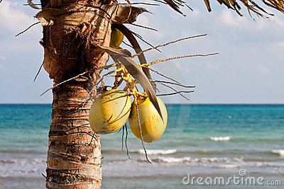 Two Coconuts with Sea in Background