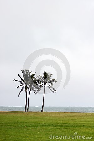 Two coconuts trees in Hawaii