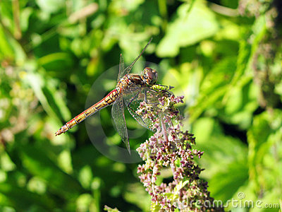 Two-colored dragon-fly on the flower