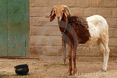 Two-colored he-goat