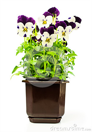 Free Two-colored Pansies In A Pot Stock Images - 52092804