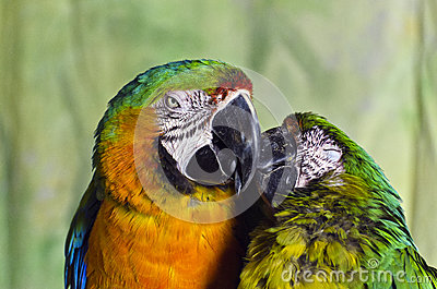 Two Colourful Macaw Parrots Kissing