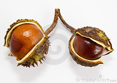 Two conkers  on a white background.