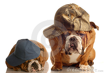 Two cool bulldogs