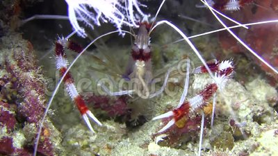 Two coral banded shrimp catching and eating plankton. stock video footage