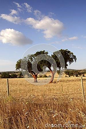 Free Two Cork Oaks Royalty Free Stock Image - 1223466