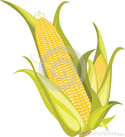 Two corncobs isolated on the white