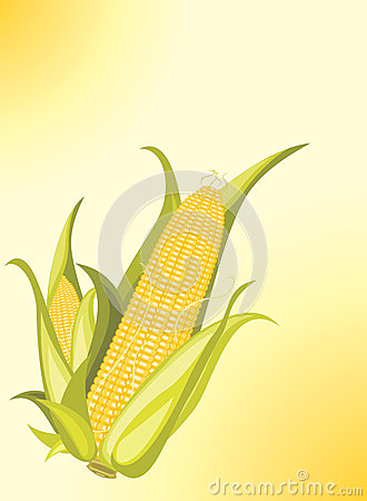 Two corncobs on the yellow background