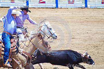 Two cowboys rope a calf at the Rodeo